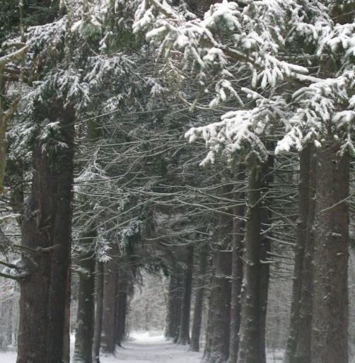 Aleja modrzewiowa w magdalenskim lesie.JPG